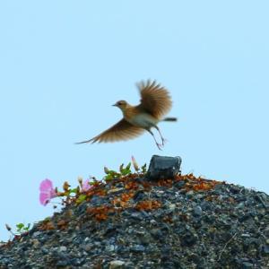 【野鳥】五月晴れのヒバリ・コゲラ・キジ・ケリ・ダイサギ・コサギ