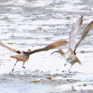 【野鳥】チュウシャクシギは、喧嘩好き? 12枚