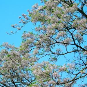 【花】栴檀(センダン)の花がきれいに咲きました~♪