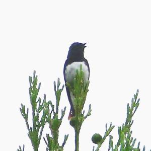【野鳥】オオルリとアオスジアゲハ
