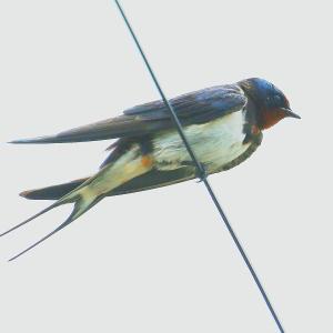 【野鳥】ツバメ幼鳥が可愛い~♪