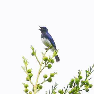 【野鳥】梢でオオルリが囀り、地上でカワラヒワが餌を啄む~♪