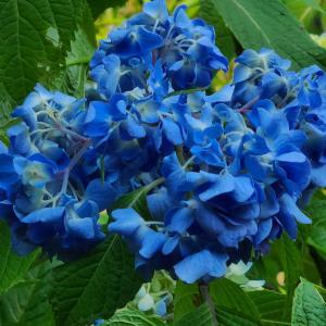 【花】青アジサイの名所龍文寺は、まだ、これからです~♪