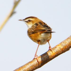【野鳥】セッカと言うスズメより小さな小鳥~♪
