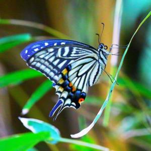 【昆虫】ナミアゲハとゲンジボタル