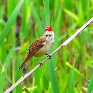【野鳥】オオヨシキリが大声で鳴く~♪