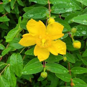 【花】オトギリソウが雨後、輝いています~♪