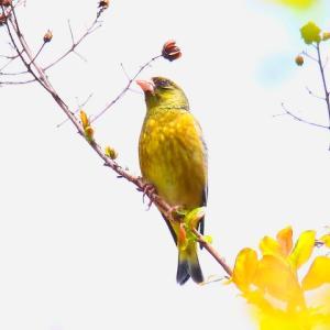 【野鳥】黄金色のカワラヒワ~♪