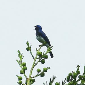 【野鳥】山ではオオルリが鳴いています~♪