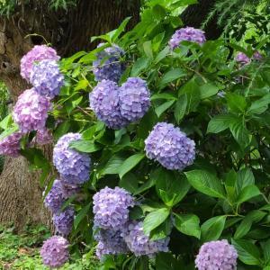 【花】窓を開ければ、アジサイの花が・・・♪