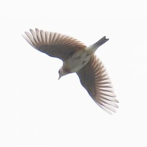 【野鳥】ヒバリが天高く囀る時~♪