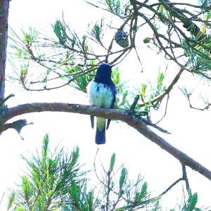【野鳥】松の枝で鳴くオオルリちゃん~♪