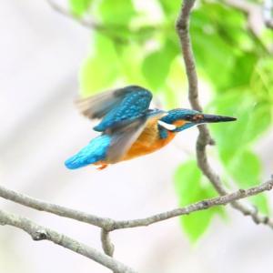 【カワセミの里】青一閃カワセミの飛ぶ~♪