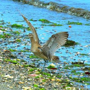 【野鳥】チュウシャクシギが飛ぶ~♪