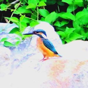 【カワセミの里】此処にもカワセミ幼鳥が飛びました~♪