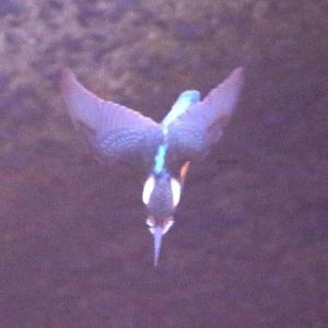 【カワセミの里】カワセミ幼鳥が活躍しています~♪