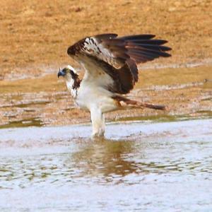【野鳥】暑くて猛禽類ミサゴも着水か!?