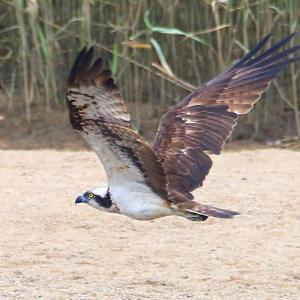 【野鳥】猛禽類ミサゴが葦原を飛ぶ~♪  連続8枚