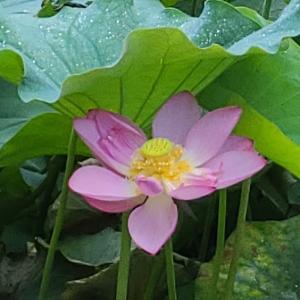 【花】万葉の森蓮池の古代ハスとスイレン