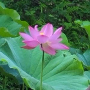 【花】万葉の森蓮池の古代大賀ハスやスイレン