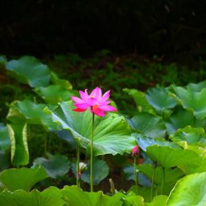 【花】万葉の森 西緑地蓮池の古代ハス!
