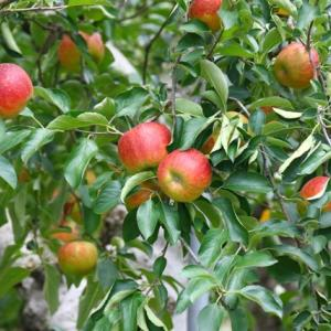 【風景】徳佐りんご園のリンゴが色づいています~♪