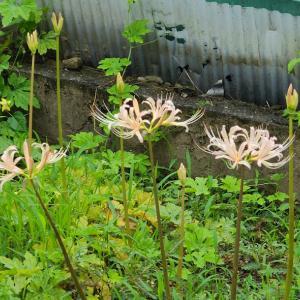 【花】白いヒガンバナが咲き始めました~♪