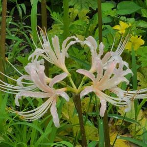 【花】ヒガンバナの白色・朱色・黄色が咲きました~♪