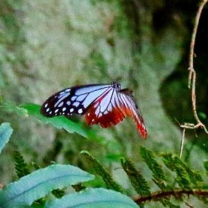 【昆虫】キチョウ・アサギマダラ・赤トンボ