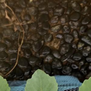 キャベツの断根苗とオクラの摘心栽培の途中経過