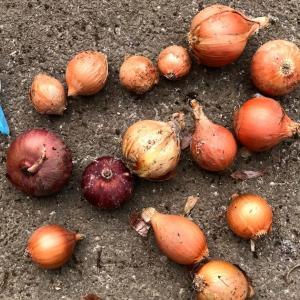 玉ねぎのセット球栽培(ホームたまねぎ)風に植え付けてみたよ
