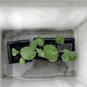 キャベツ胚軸断根苗の定植