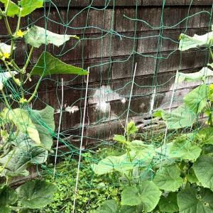 きゅうりの挿し芽栽培 ついに結実!きゅうりも脇芽から収穫できる!!