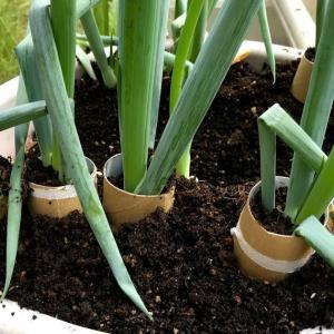 ネギ栽培 トイレットペーパーの芯で土寄せ