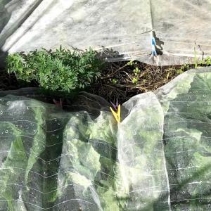 キャベツ栽培 寒冷紗の支柱はダイソーの洋蘭用の支柱