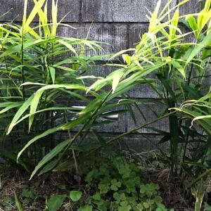 生姜栽培 収穫して甘酢漬け(ガリ)を作る