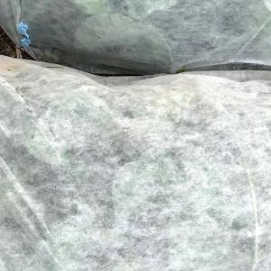 ブロッコリー栽培とカリフラワー栽培のコンパニオンプランツ 経過報告