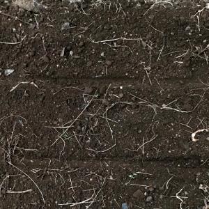 タマネギ栽培 米ぬかをすき込んでから三週間 肥料も混ぜて苗の植え付け