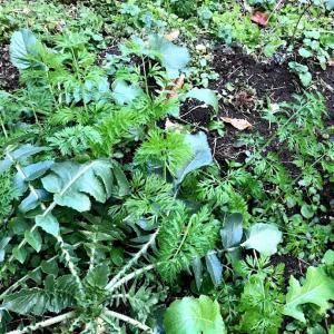 大根栽培 ニンジン栽培 不織布で防寒・防霜