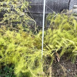 アスパラガス栽培 茎葉を切った後に凍結防止