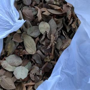 一畝に落ち葉を敷き詰める