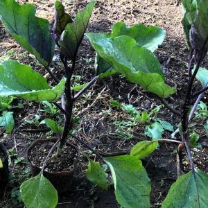 2021年ナス栽培 植え付け 肥料は全面施肥と溝施肥