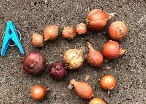昨年収穫の小さな玉ねぎをホーム玉ねぎ風で栽培した最終章