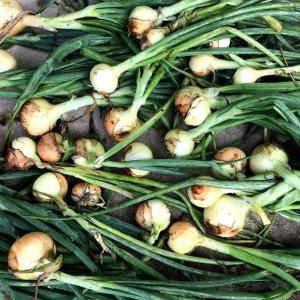通常タマネギ栽培の黄タマネギを全て収穫