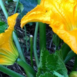 ズッキーニ栽培の雄花雌花がナイスタイミング
