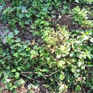 オクラを植え付ける準備をしてなかったので当日土作りで植え付け