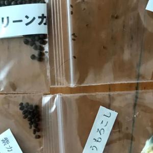 ヤフオクで購入したセロリの種をトレーで芽出し