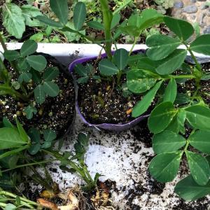落花生を根切りして植え付け 黒もちとうもろこしも植え付けたよ