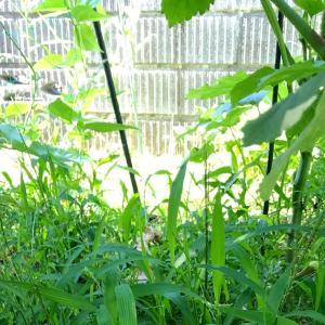 オクラの株下の雑草を抜いて草マルチ
