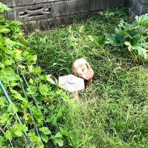 倒れたゴーヤを直して、雑草を片付け草マルチ